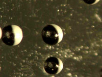 Janus Particles - Black Paramagnetic Microsphere Core with Partial White Coating (Bipolar and Bichromal Particles)