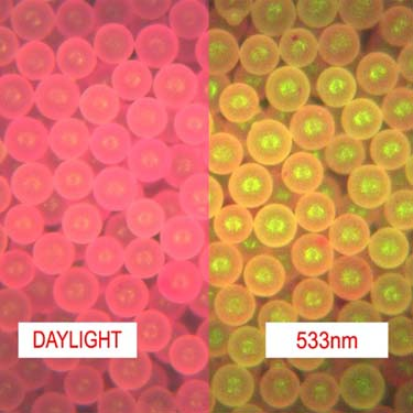 Rhodamine B Polyethylene Microspheres Density 0.98g/cc - Peak Excitation Wavelength: -540nm (Green)<br>Emission Wavelength: Weak Orange response -595nm - Daylight Color: Pinkish Red